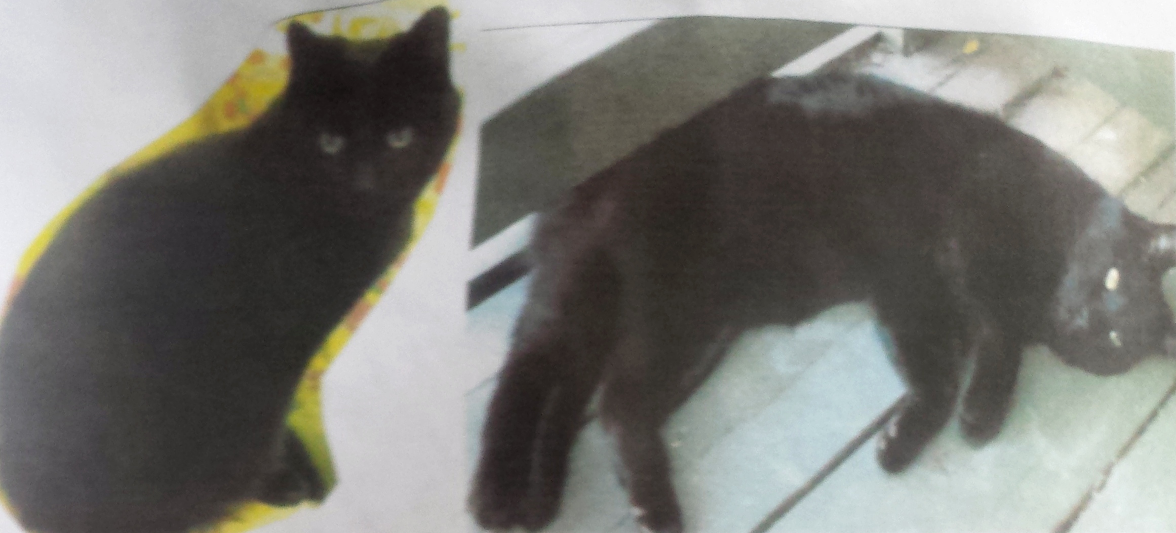 Urgent Missing: Guinness the Cat, Have You Seen Him?