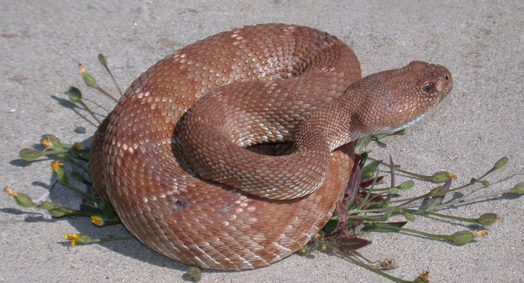Child Bitten by Rattlesnake at Day Camp in Hahamongna Park